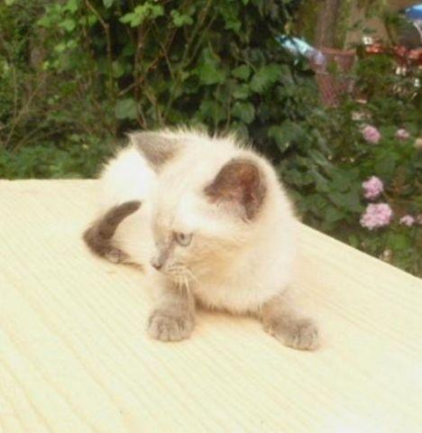 ragdoll maine coon siamese kittens more breeds