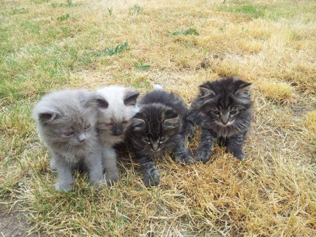 Maine Coon Kittens For Sale Seattle Ragdoll-Maineco...