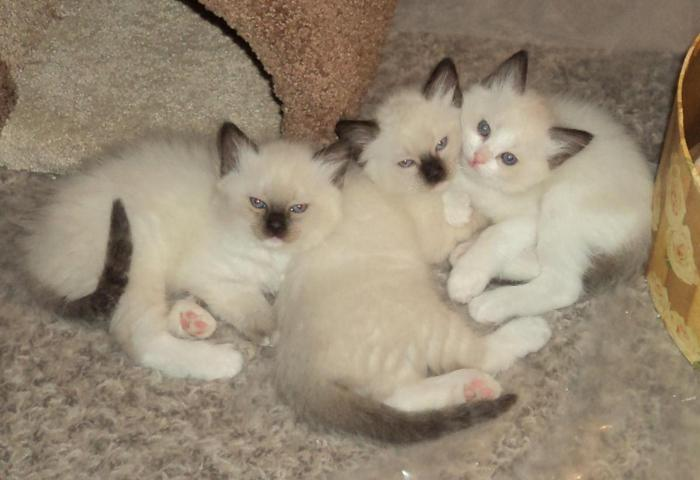 ragdoll/siamese kittens coming