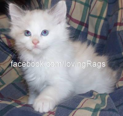 Ragdoll Siamese mix kittens