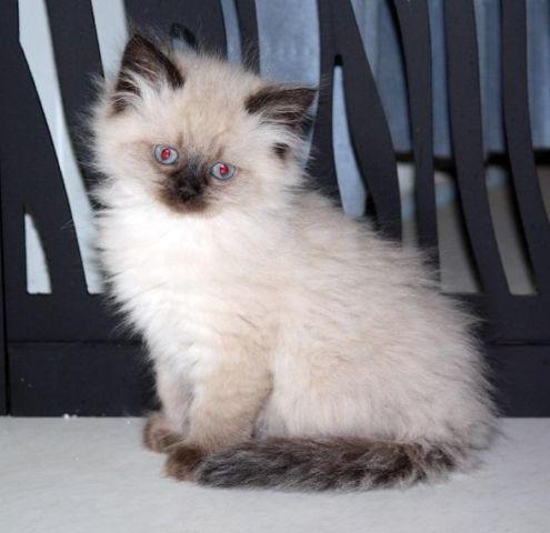 X Persian Kittens Ragdoll X Himalayan Persian