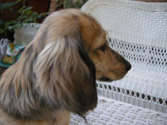 Dachshund For Sale In California Classifieds Buy And Sell In
