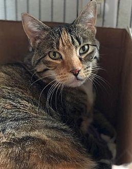 Rainbow Domestic Shorthair Adult Female