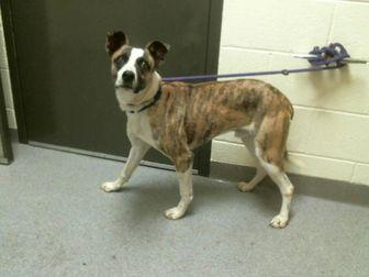RAJAH Australian Cattle Dog Young Male