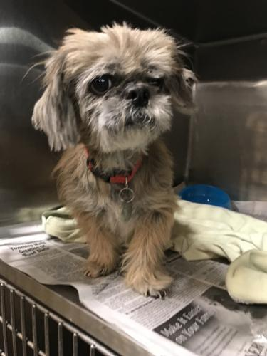 Rajah Shih Tzu Adult - Adoption, Rescue