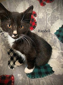 Randell Domestic Shorthair Kitten Male