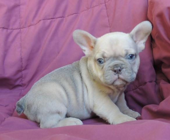 Rare Akc Lilac French Bulldog Maile 8 Weeks Old