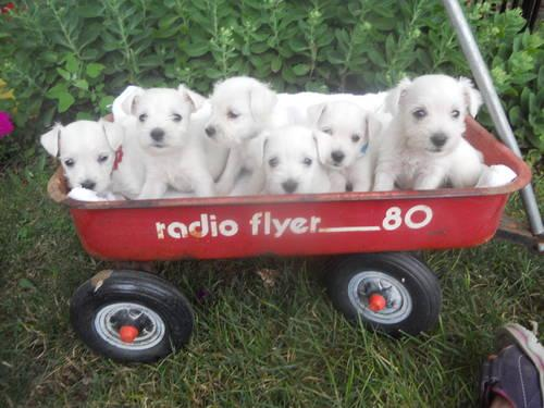rare akc white miniature schnauzer no shed puppies ready now for