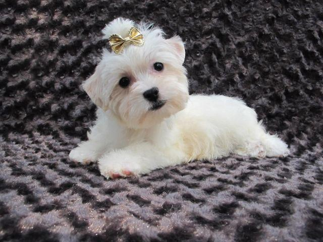 The gallery for --> White Yorkie