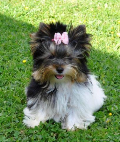 Southern Star Yorkies is located in the beautiful West Georgia area conveniently located just West of Atlanta off of Interstate 20We offer quality Biewer amp Yorkshire Terrier puppies with wonderful Champion European Russian amp Canadian bloodlines