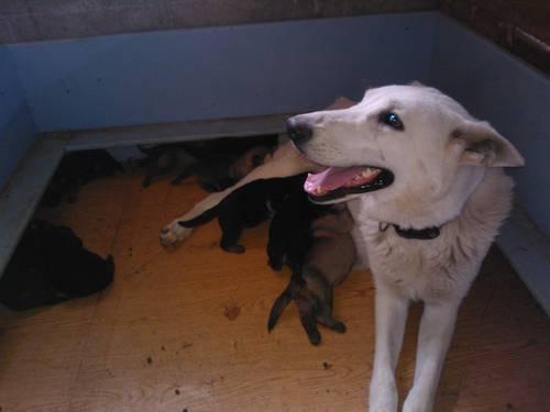 Rare Black and Silver AKC German Shepherd pups for sale in Perkasie ...