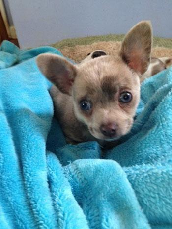 Rare Blue Merle Chihuahua