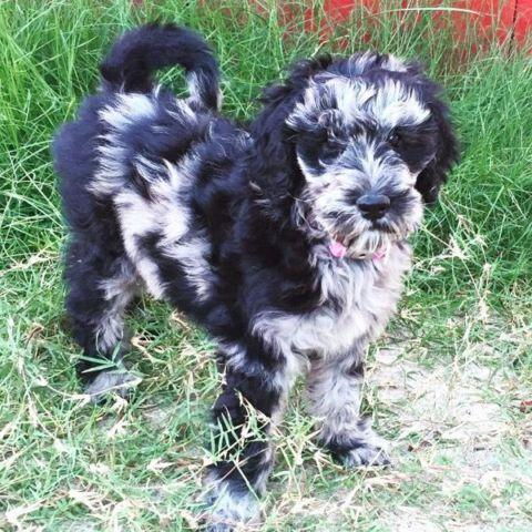 Rare Blue Merle Goldendoodle Aussiedoodle Mix For Sale In