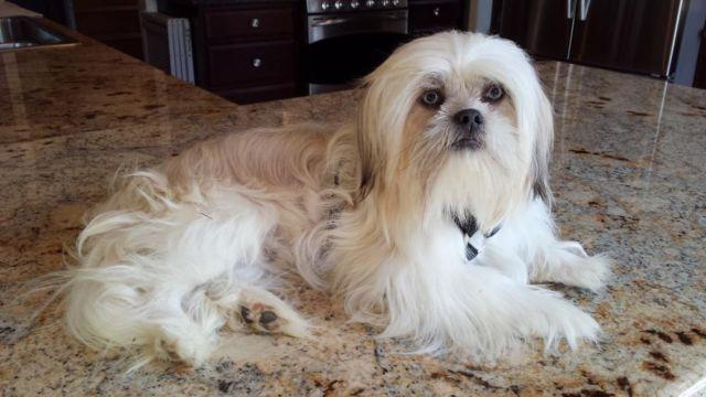 Rare Blue Nosed Green Eyed Pure Bred Akc Shih Tzu Male For Sale In