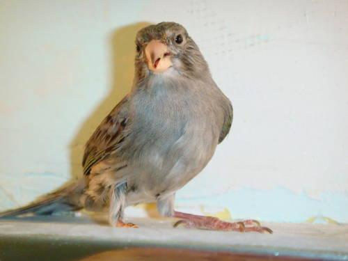 RARE, BLUE Spanish Timbrado Canary