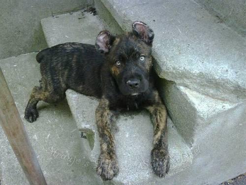 ❤Sino❤ ❤Female❤ ❤Cão Fila de São Miguel X Cão de Castro Laboreiro❤ Rare-breed-cao-de-fila-de-sao-miguel-puppies-due-soon-americanlisted_33797825