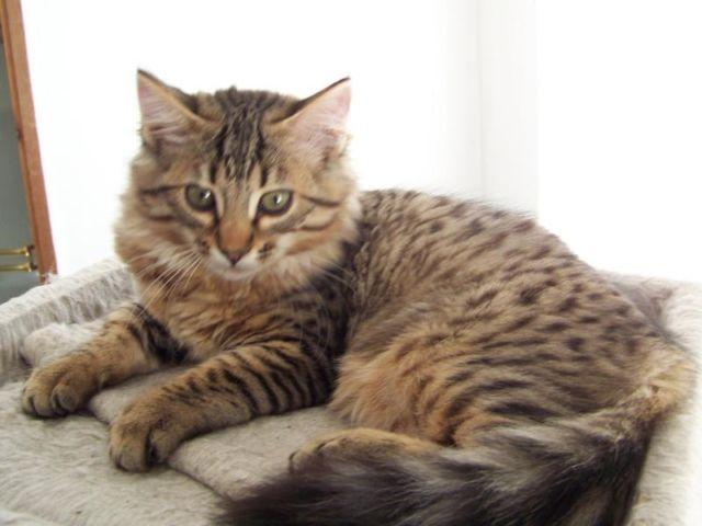 Rare Cashmere Long Haired Bengal Kitten For Sale In Woodland Washington Classified Americanlisted Com