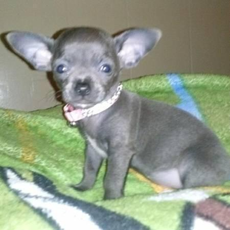 RARE COLOR! Solid Blue Applehead Chihuahua Female 8 months ...