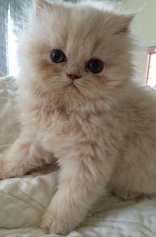 osrs bob the cat