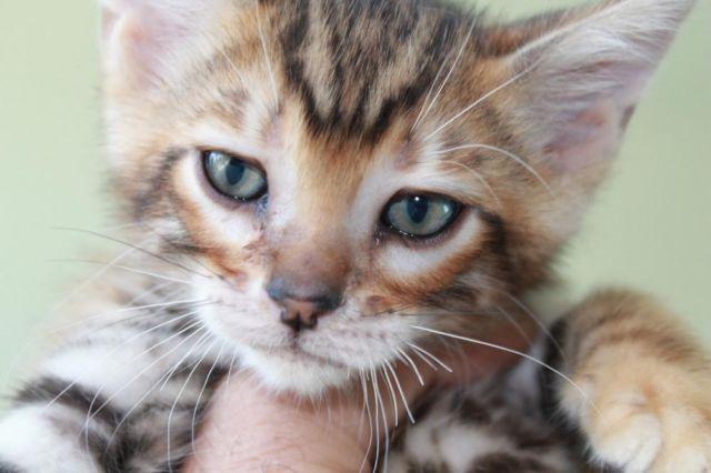 Rare Male Toyger Kitten Available