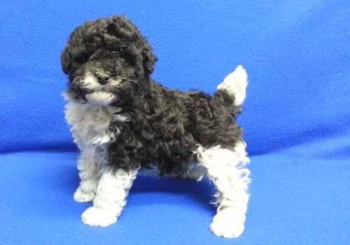 Rare Markingsteddy Bear Miniature Poodle Parti Colored