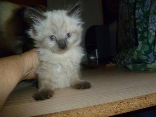 Rare Mink Birman Maine Coon Hybrid Kitten New Breed Gorgeous For Sale In Crestline