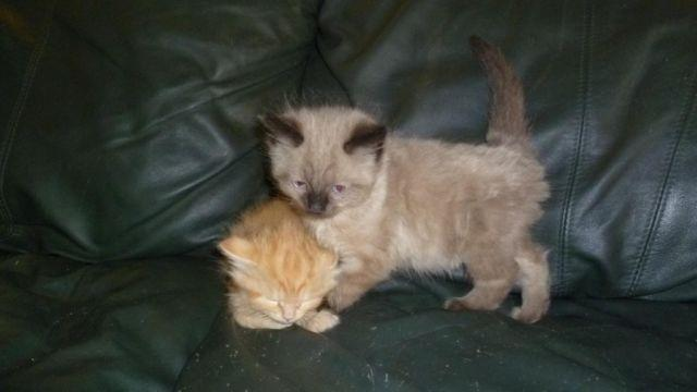 Rare New Breed Legend Lynx Kittens Seal Point Blue Red Marbles For Sale In Orange