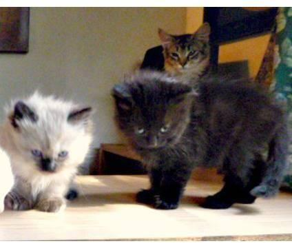 Rare New Breed Maine Coon Hybrids Seal Point Blue Orange Marble For Sale In Anaheim