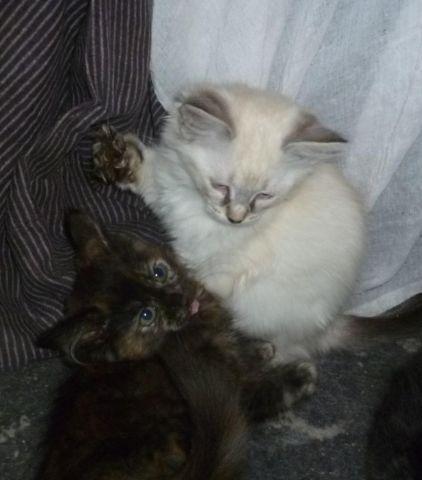 Rare NewBreed 'LegendLynx' Polydactyl kittens; Maine Coon ...  Rare NewBreed &...
