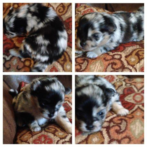 Rare Pomeranian Puppies For Sale For Sale In Montgomery Alabama