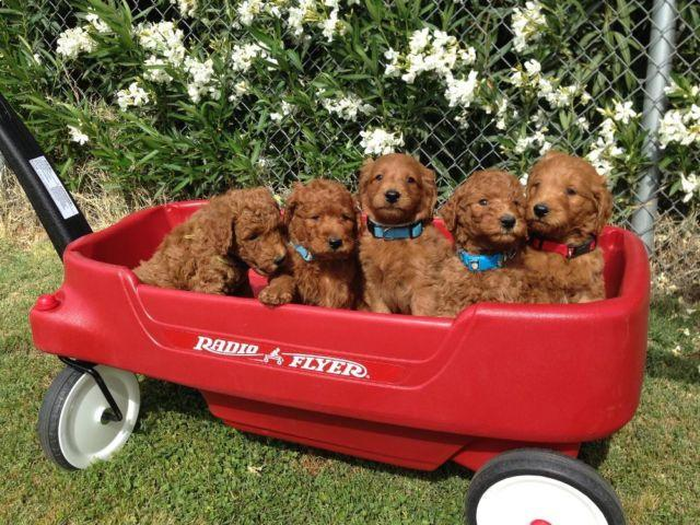 rare red f1b goldendoodle male puppies for sale in glendale arizona