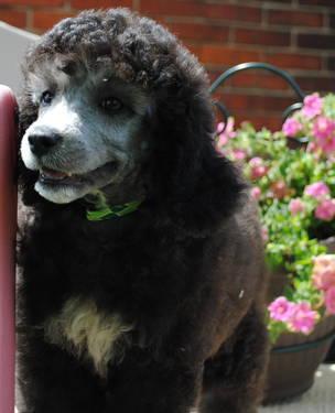 Rare Silver Moyen Standard Poodle Male
