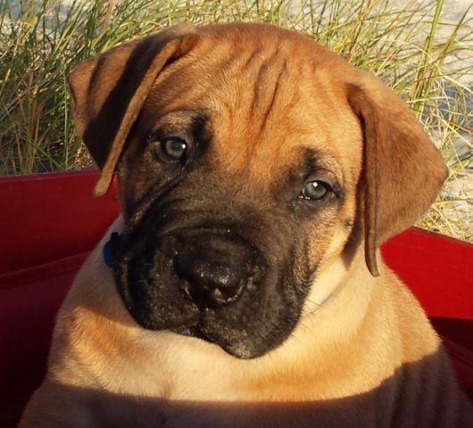 Rare South African Mastiff Puppies/Boerboels