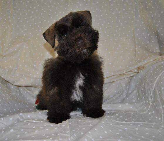 Rare Toy AKC Mini Schnauzer Puppy
