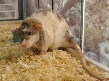 Rat Benji Small Adult Male Small Amp Furry For Sale In New Albany Indiana Classified