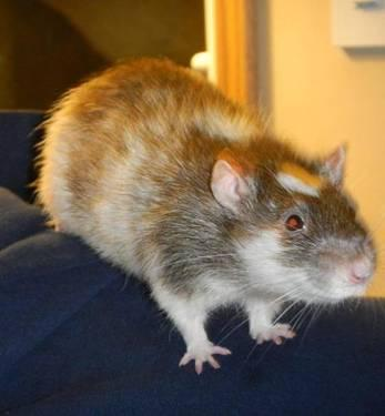 Rat - Dimitri - Small - Adult - Male - Small & Furry