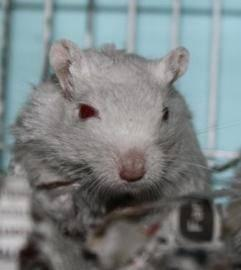 Rat - Molly - Small - Adult - Female - Small & Furry