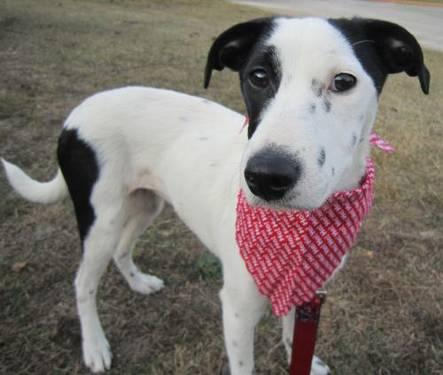 Rat Terrier - Belle - Medium - Young - Female - Dog