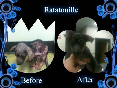 Rat Terrier - Ratatouille - Small - Young - Male - Dog