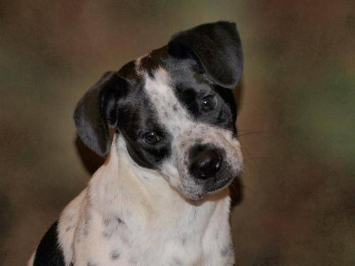Rat Terrier - Roosevelt - Small - Adult - Male - Dog