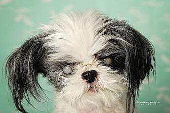 Ray Shih Tzu Senior Female For Sale In Nashville Tennessee