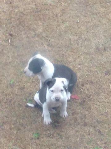 Razor Edge & Gotti pitbull puppies- 9 weeks old