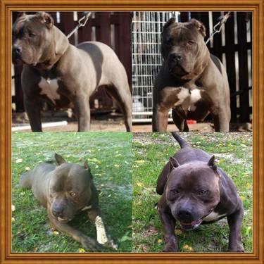 Razors edge UKC reg.American Bully / Pitbull pups for sale for Sale in