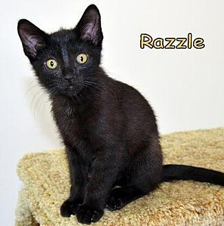 Razzle Domestic Shorthair Kitten Male