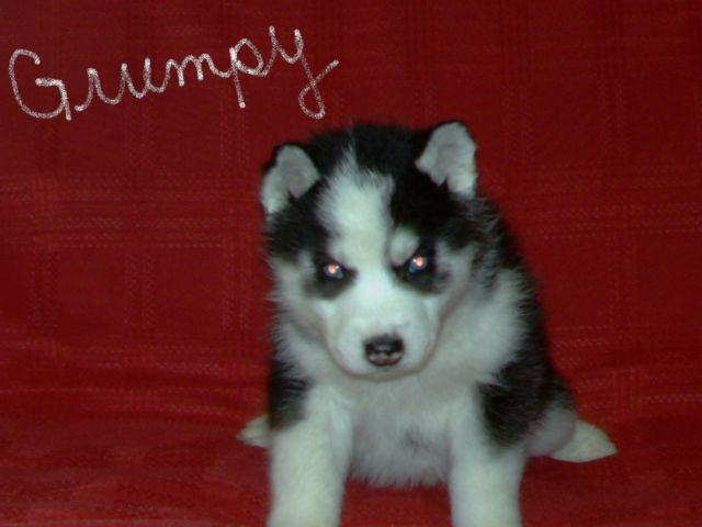 READY 12/5!! AKC Siberian Husky Puppies