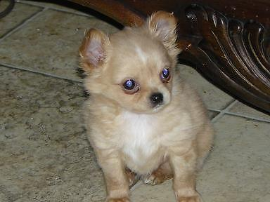 ready for love 2 sweet chihuahua puppies 8 weeks old