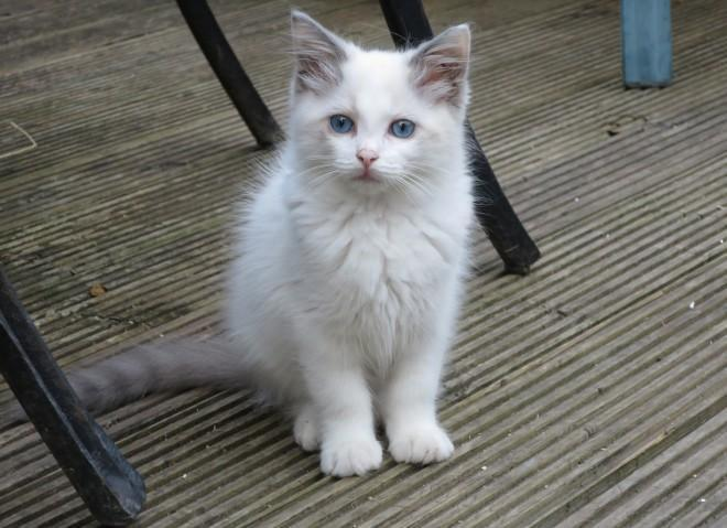 Ready Now Gccf Ragdoll Kittens for Sale in Montgomery, Alabama