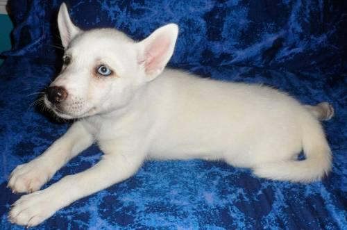 READY NOW! Siberian Husky Puppy White Female Blue Eye, Brown/Blue $550