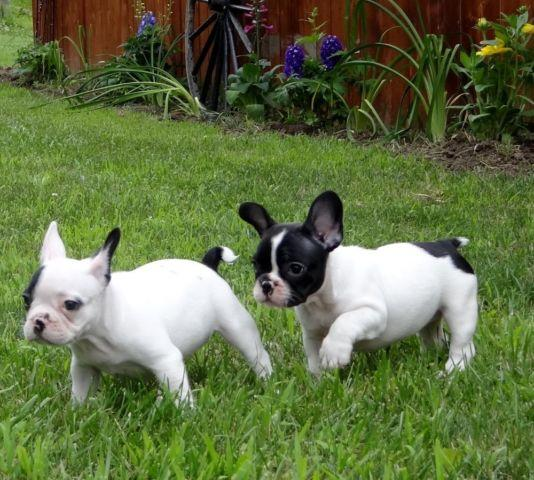 French Bulldog For Sale In Michigan Classifieds Buy And Sell In