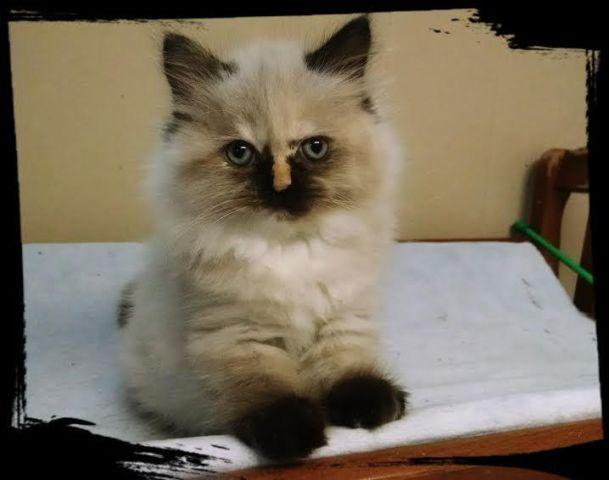 Kittens for sale in fort wayne indiana